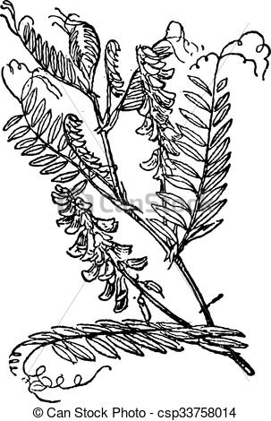 Vector Clip Art of Tufted Vetch or Vicia cracca, vintage engraving.