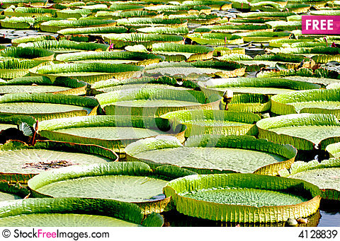 Royal Water Lily, Victoria Amazonica.