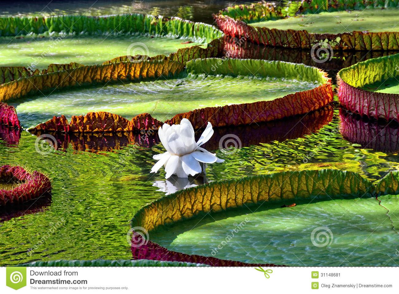 Victoria Amazonica Stock Image.
