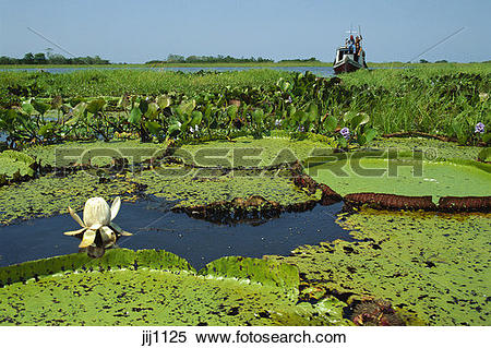Stock Image of Victoria amazonica (previously Victoria regia.