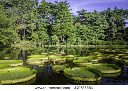 Victoria Amazonica Stock Photos, Royalty.