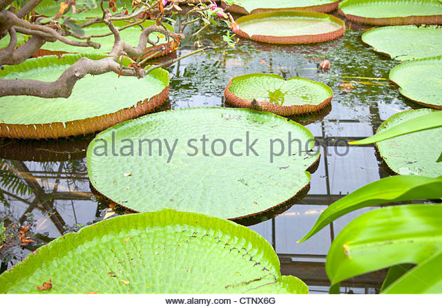 Victoria Waterlily Lotus Stock Photos & Victoria Waterlily Lotus.