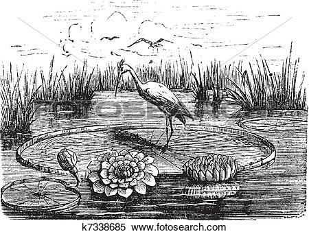 Clipart of Victoria or Victoria amazonica, vintage engraving.