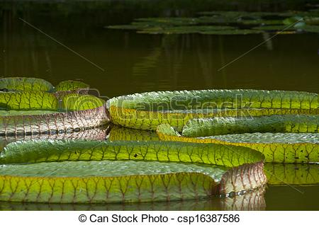 Pictures of Nenufares (Victoria Amazonica).