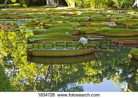 Stock Images of Pond with giant Victoria amazonica water lilies.