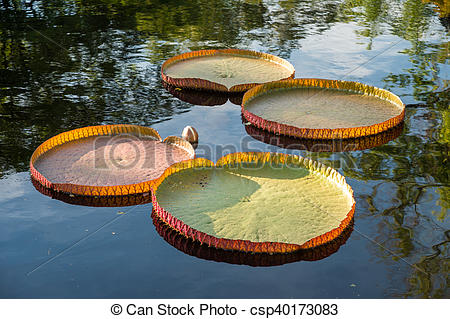 Pictures of Victoria amazonica lotus floating on water csp40173083.