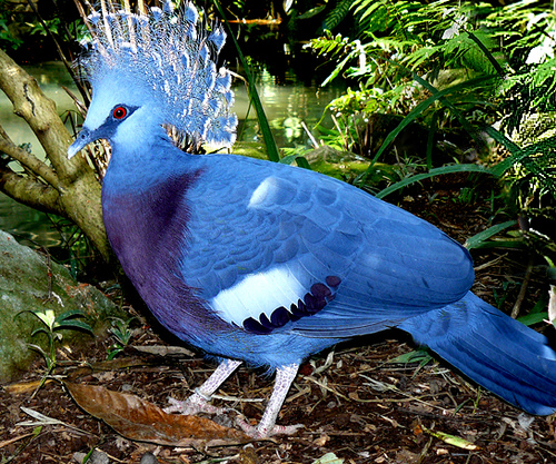 Victoria Crowned Pigeon on emaze.