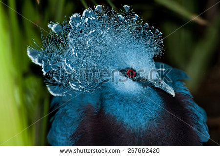 Victoria Crowned Pigeon Stock Images, Royalty.