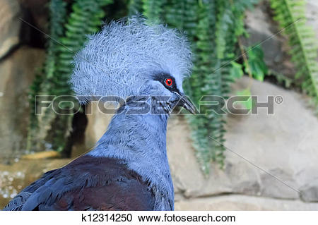 Stock Photography of Exotic blue bird Victoria Crowned Pigeon in.
