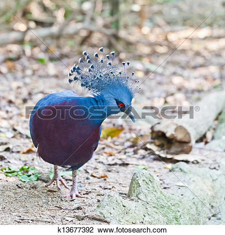 Stock Photo of Victoria Crowned Pigeon in a park k13677392.