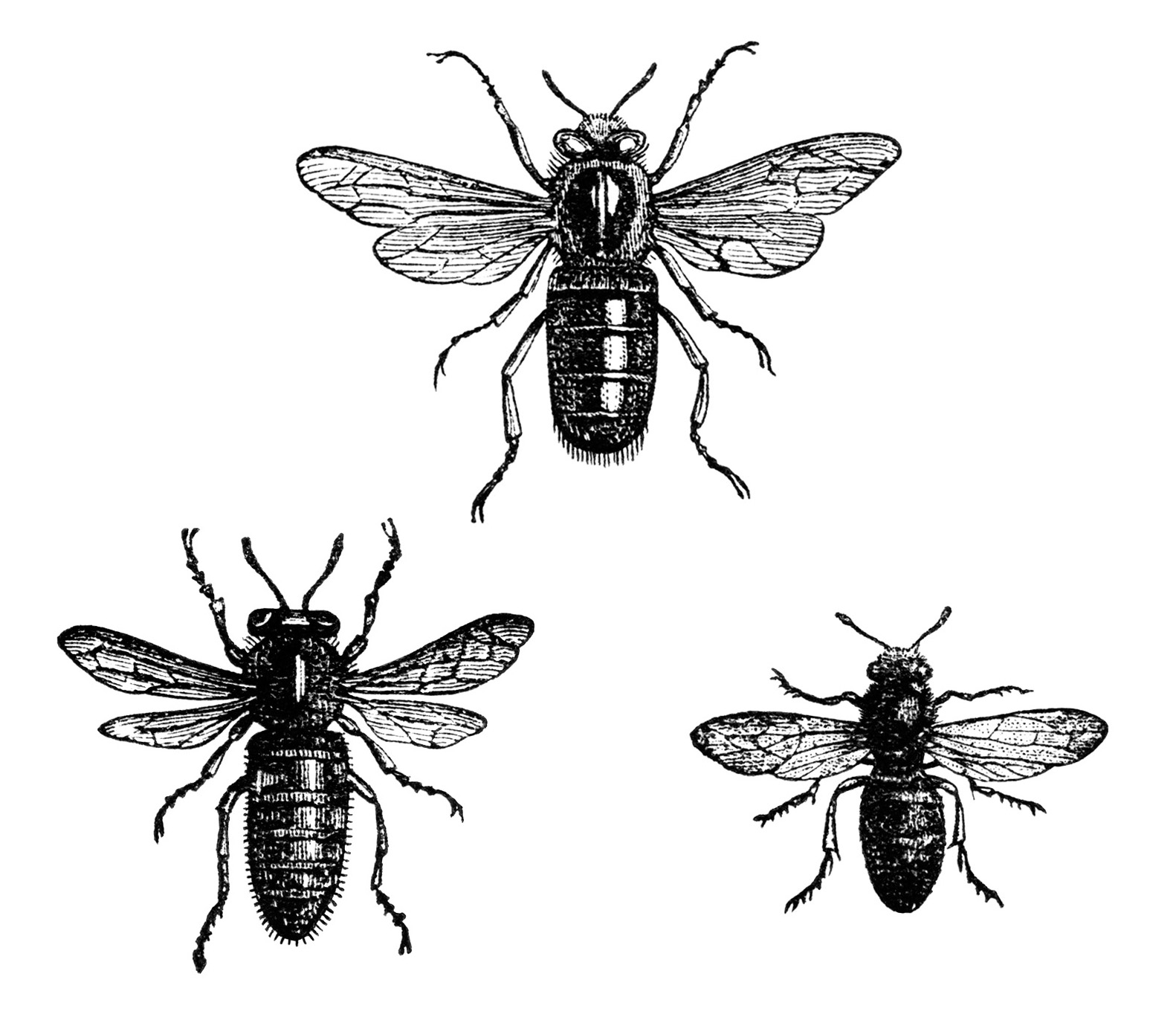 Free Vintage Clip Art Image ~ Queen Bee, Working Bee, and.