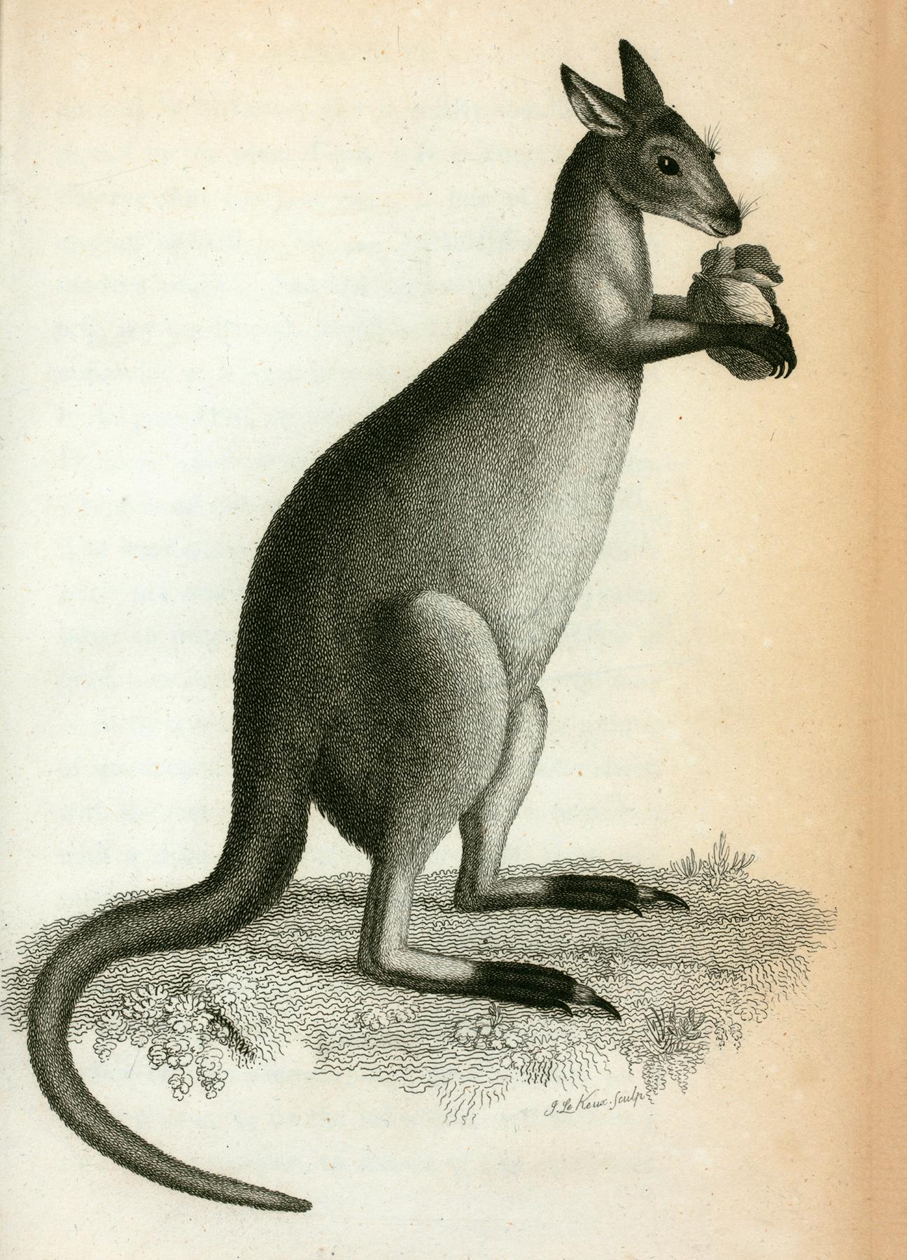 Vintage Natural History Kangaroo Image!.