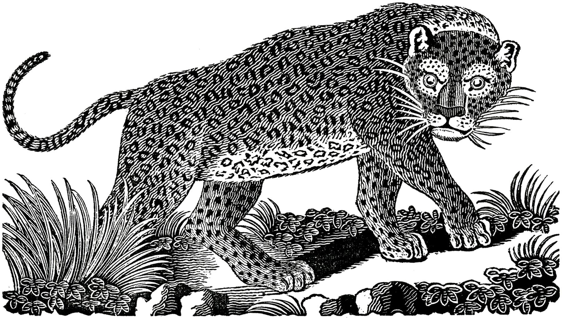 Public Domain Leopard Image!.