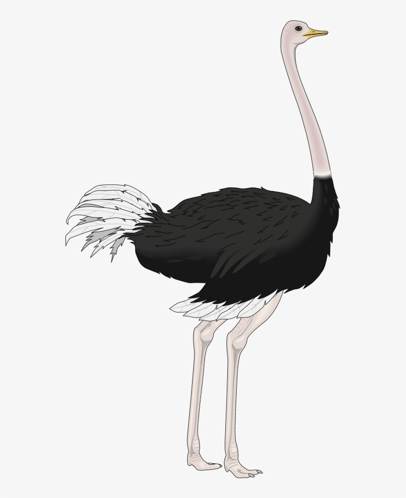 Ostrich Drawing Vintage.