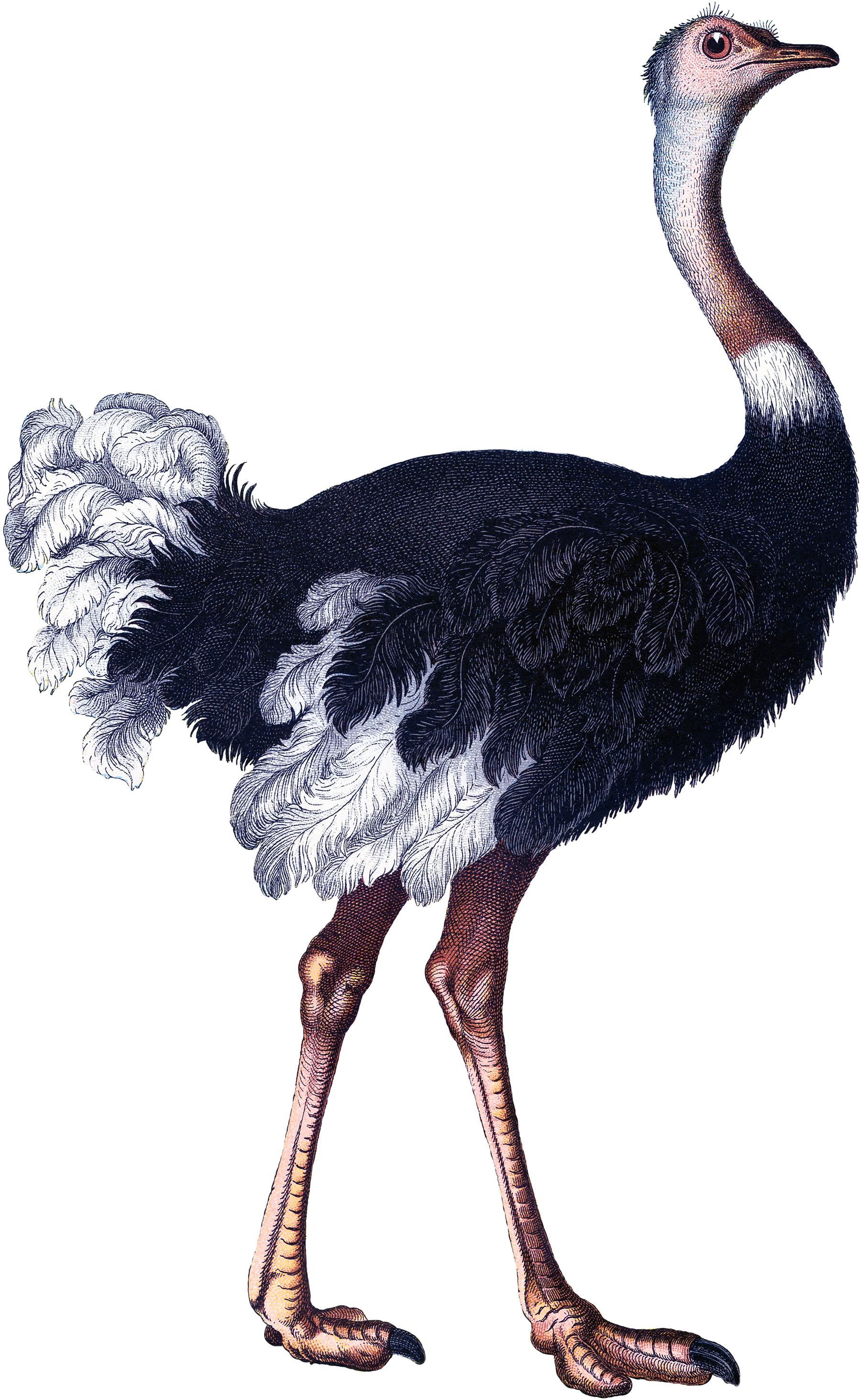 Vintage Ostrich Image.
