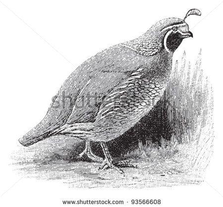 Vintage Clip Art quail.