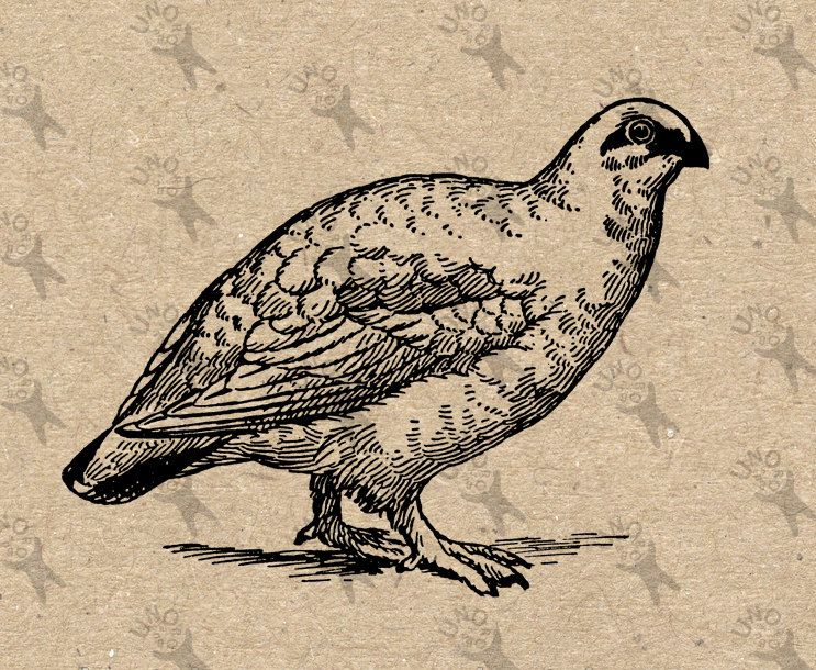 Partridge quail vintage image Instant Download Digital.