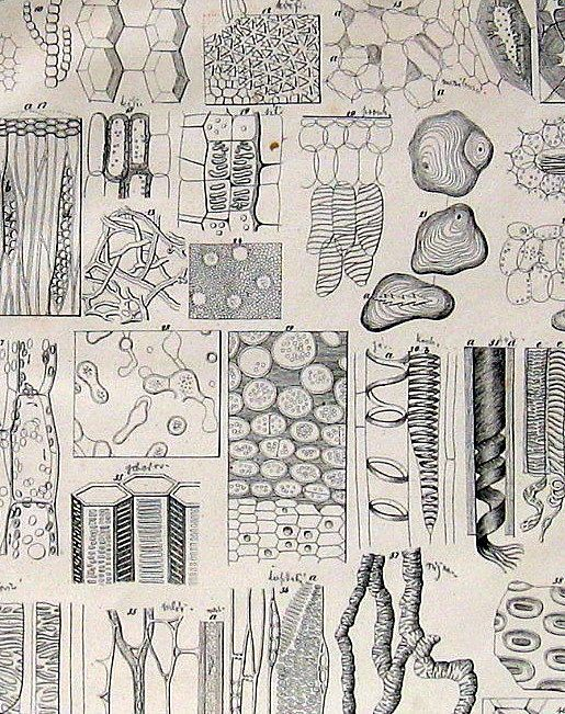 Victorian clipart xylem clipart images gallery for free.