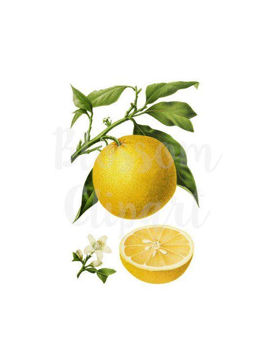 Lemon Clip Art, Vintage Graphic PNG Clipart, Clip Art Lemon.