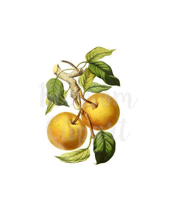 Vintage Clip Art, Fruit Vintage Graphic, Apple Clipart for.