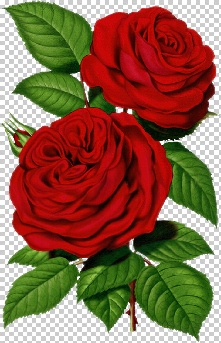 Centifolia roses Flower , Victorian Rose s PNG clipart.