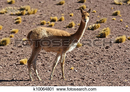 Stock Photography of Vicuna k10064801.