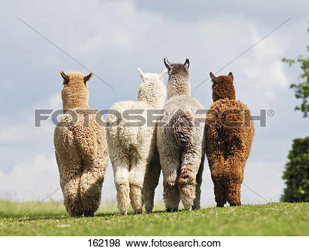 Pictures of four Alpacas.