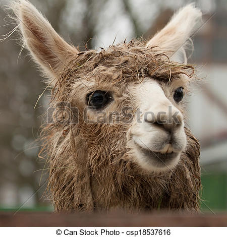 Stock Photography of Alpaca (Vicugna pacos).