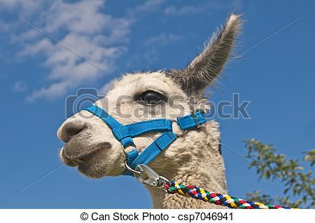 Stock Photography of Alpaca, Vicugna pacos csp7046941.