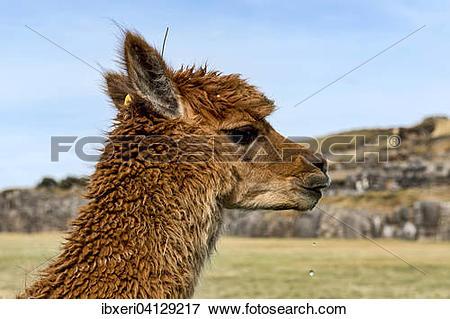 Picture of Alpaca (Vicugna pacos), near Cusco, Peru, South America.