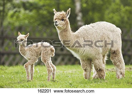 Stock Photography of Alpaca and cub on meadow / Vicugna pacos.