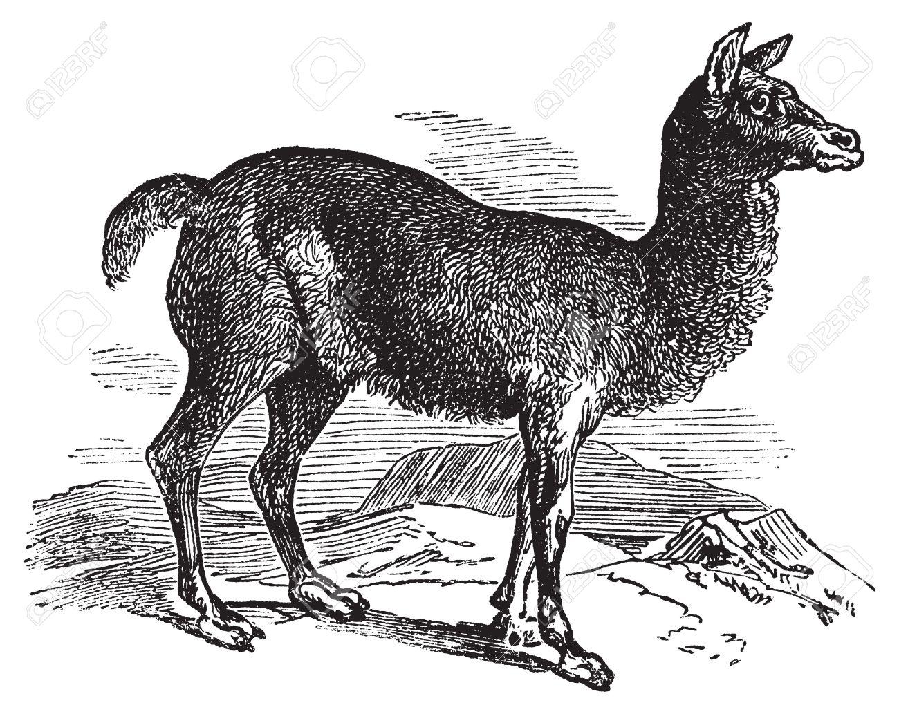 Alpaca Or Vicugna Pacos Vintage Engraving. Old Engraved.