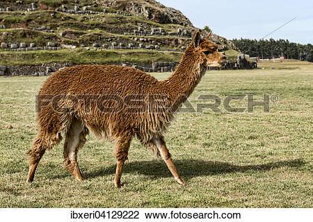 Stock Photo of Alpaca (Vicugna pacos), near Cusco, Peru, South.