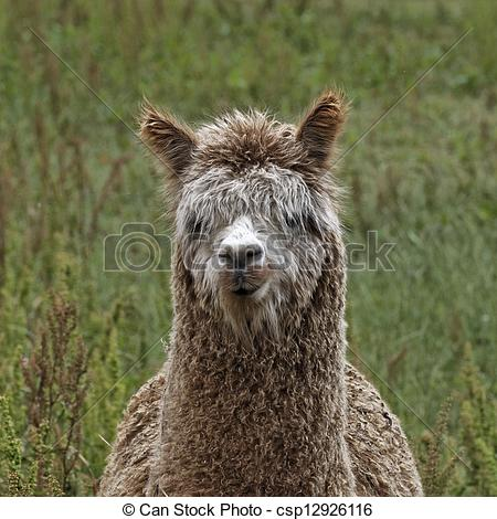 Stock Photography of Alpaca (Vicugna pacos), Paco on a meadow in.