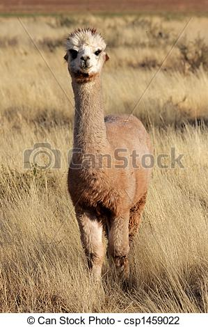 Stock Photo of Alpaca (Vicugna pacos), domesticated species of.