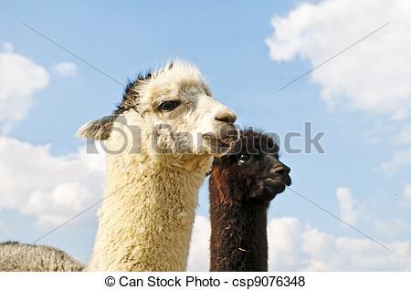 Pictures of Alpaca, Vicugna pacos csp9076348.
