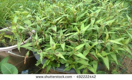 Vietnamese Coriander Stock Photos, Royalty.