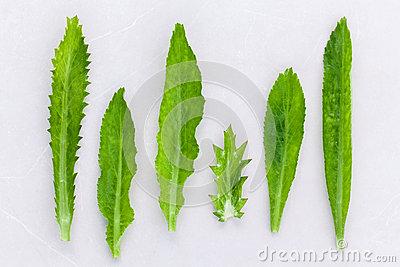 Culantro, Long Coriander, Sawtooth Coriander The Herbs For Seaso.