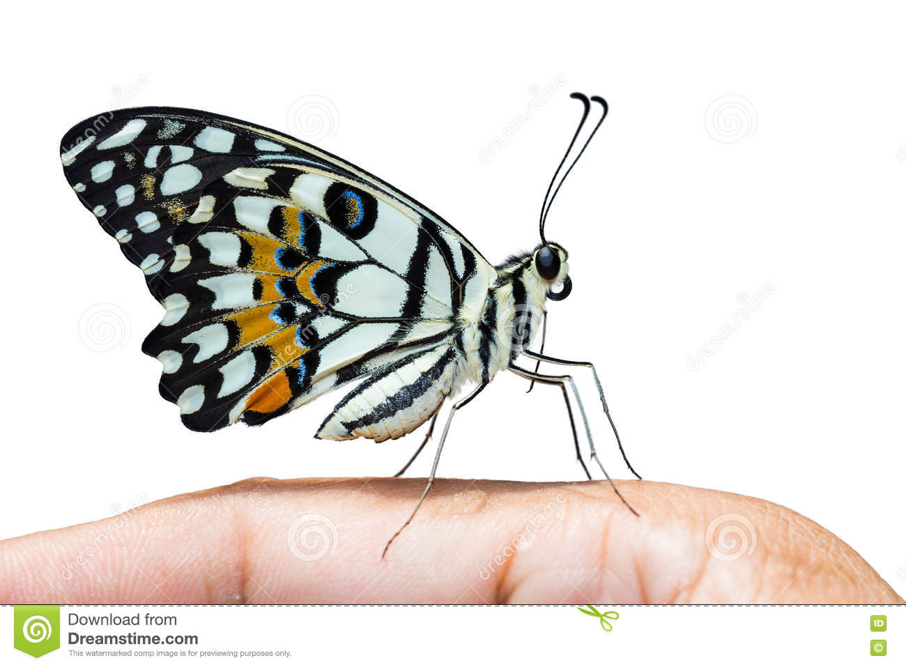 Butterfly thorax clipart.