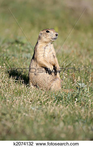 Stock Photo of prairie dog sitting vigilant k2074132.