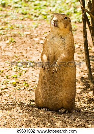 Stock Photo of Vigilant prairie dog k9601332.