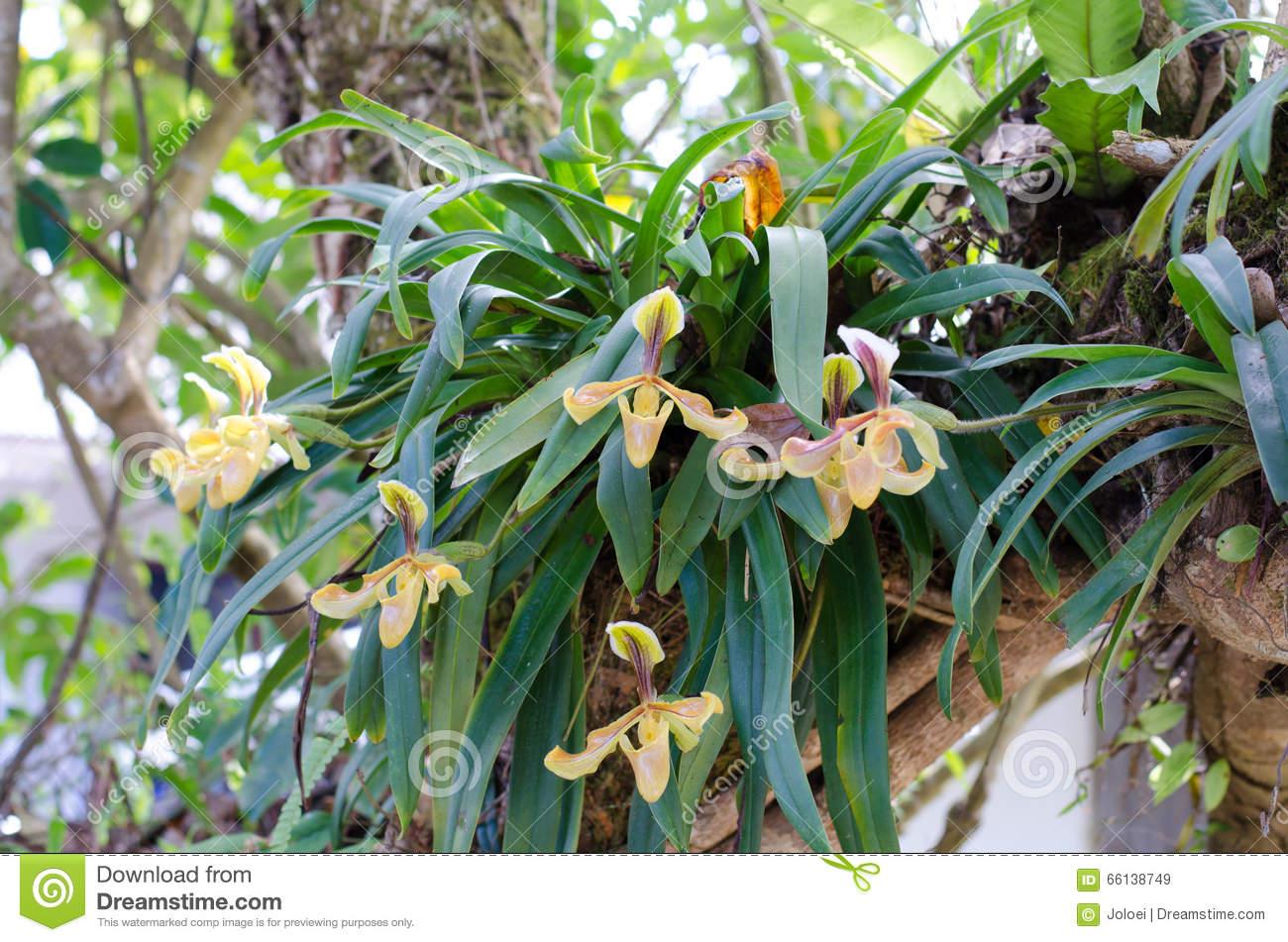 Paphiopedilum Villosum Stock Photo.