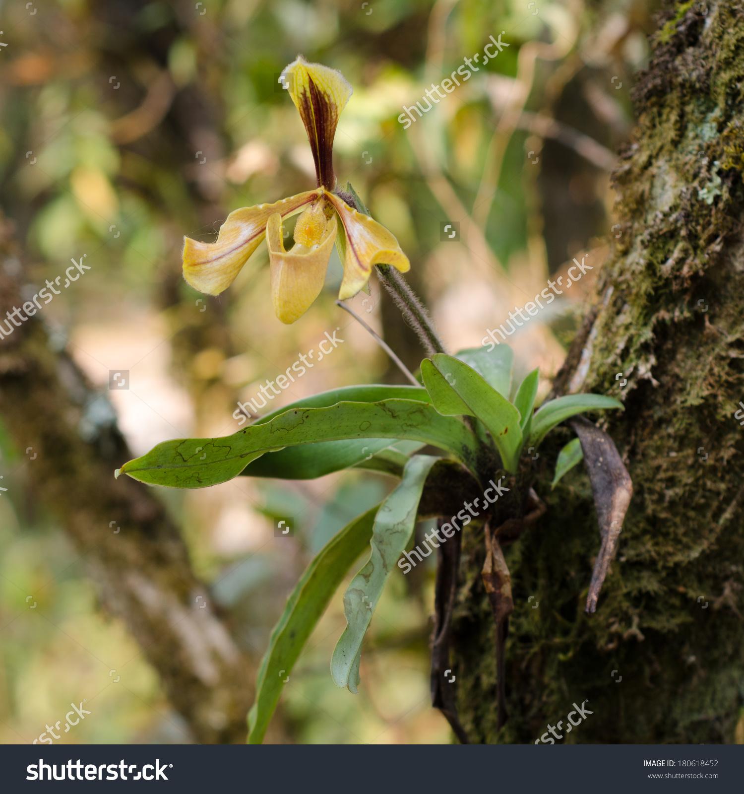 Paphiopedilum Villosum Wild Orchid In Thailand Stock Photo.