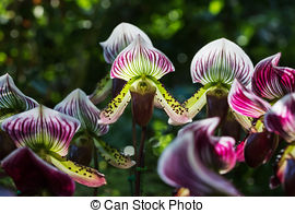 Stock Images of Lady slipper orchid, orchidaceae, Paphiopedilum.
