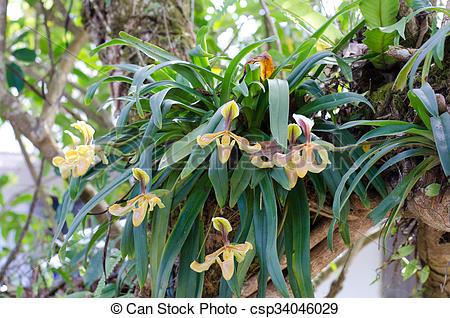 Stock Photo of wild orchid in Thailand name Paphiopedilum villosum.