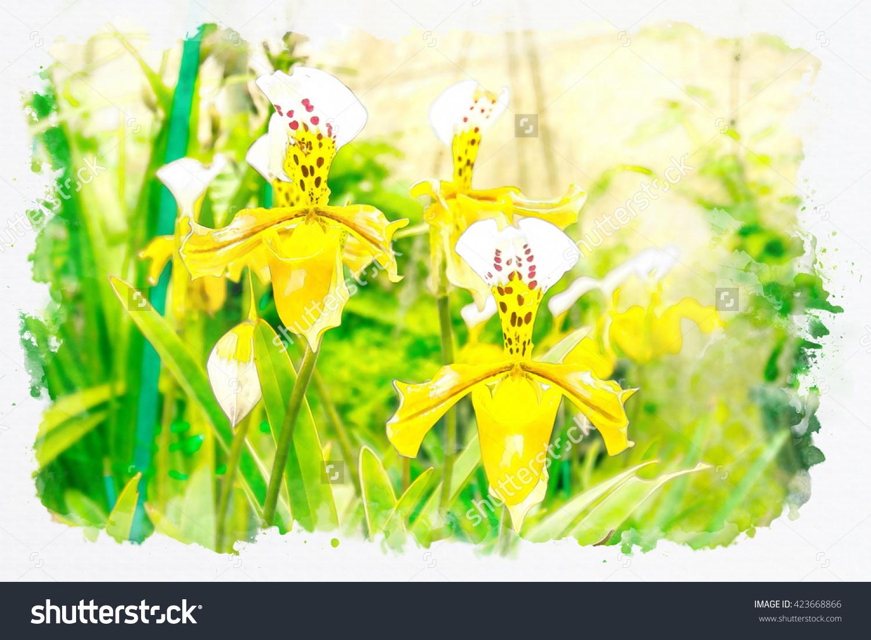 Lady Slipper Orchid, Orchidaceae, Paphiopedilum Villosum Of.