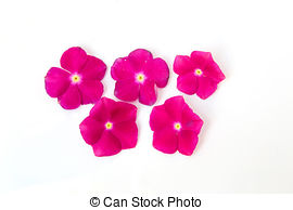 Vinca rosea Stock Photo Images. 35 Vinca rosea royalty free.