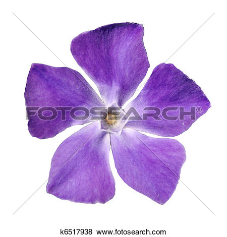 Pictures of Periwinkle purple flower.