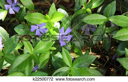 Stock Photo of violet flowers with green leaves (Vinca major.