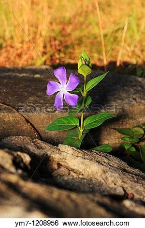 Stock Images of Bigleaf Periwinkle.